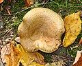 Paxillus involutus 110431419.jpg
