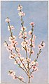 Peach Blossoms MET DT232799.jpg