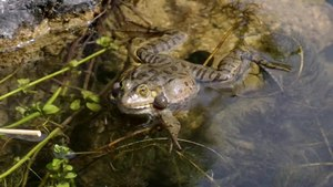 File:Pelophylax ridibundus call deshaked fixed.ogv