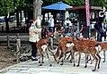 People feeding the deer in Nara.jpg