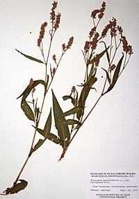 Persicaria pensylvanica BW-1979-0914-0515.jpg