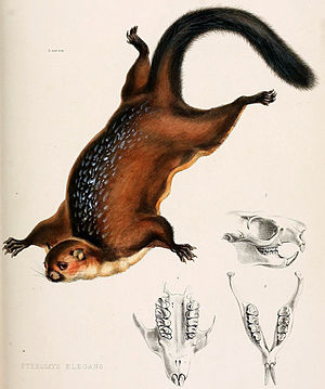 Petaurista elegans (Illustration aus The Zoology of the voyage of H.M.S. Samarang, under the command of Captain Sir Edward Belcher, 1850)