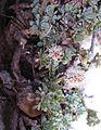 Petrophyton caespitosum (mat rock spiraea) - Flickr - brewbooks (2).jpg