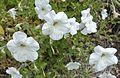 Petunia axillaris (18740257338).jpg