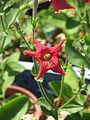 Petunia excerta - Flickr - peganum (4).jpg