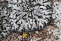 Phaeophyscia orbicularis 110290989.jpg