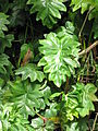 Philodendron lacerum2.jpg