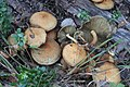 Pholiota squarrosa 94498022.jpg