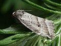 Phyllophila obliterata (27185733088).jpg