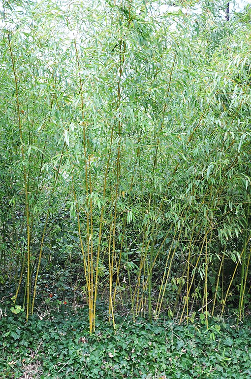 file phyllostachys aurea fishpole bamboo golden bamboo jpg wikimedia commons. Black Bedroom Furniture Sets. Home Design Ideas