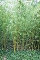 Phyllostachys aurea Fishpole Bamboo, Golden Bamboo ოქროსფერი ბამბუკი.JPG
