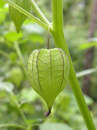 Physalis minima fruit from Kerala - 20090520.jpg