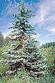 Picea pungens USDA3.jpg