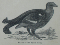 Picture Natural History - No 161 - The Black Cock.png