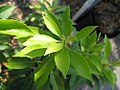 Pieris japonica Historyland Supreme 2zz.jpg