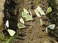 Pieris rapae - Small white - Репница (40281853035).jpg