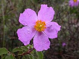 PikiWiki Israel 4611 Soft-Hairy Rockrose