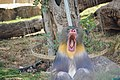 PikiWiki Israel 48105 Mandrill Biblical Zoo in Jerusalem.jpg