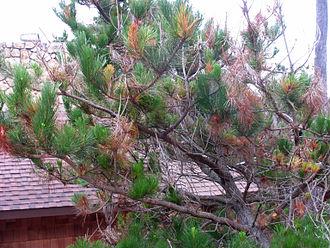 Fusarium circinatum - Pitch canker affecting western white pine