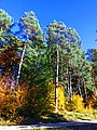 Pines - panoramio (10).jpg
