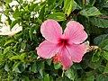 Pink Hibiscus 01.jpg