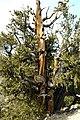 Pinus longaeva cwsteeds.jpg