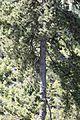 Pinus nigra - Karaçam kozalakları 02.jpg