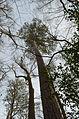 Pinus taeda Congaree NP.jpg
