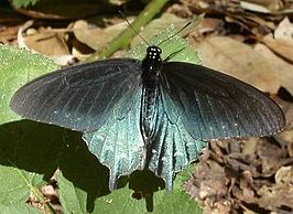 Pipevineswallowtail2.jpg