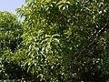 Pittosporum wightii (16668083933).jpg