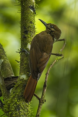 Plain-brown Woodcreeper - South Ecuador S4E8233 (16754362211).jpg