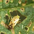 Plant Bug (15987348055).jpg