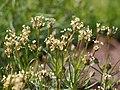Plantago sempervirens 2015-05-17 03.jpg