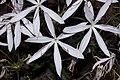 Plants Crinum Lily IMG 8222.jpg