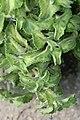 Plectranthus amboinicus 1zz.jpg