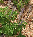 Plectranthus graveolens.jpg