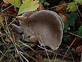 Pleurotus ostreatus 102802825.jpg