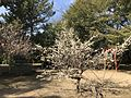 Plum tree in Kurume Castle.jpg