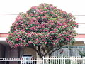 Plumeria rubra.jpg