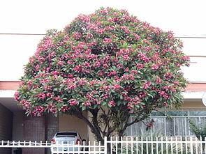 Rote Frangipani (Plumeria rubra)