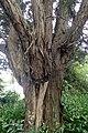 Podocarpus totara kz5.jpg