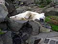 Polar Bear Asleep with Comfort Stick - geograph.org.uk - 487901.jpg