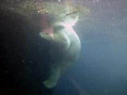 Bestand:Polar Bear Underwater Zoo Bremerhaven Germany.ogv