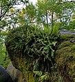 Polypodium virginianum (fern).jpg