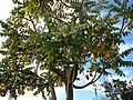 Polyscias racemosa (5188310318).jpg