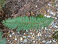 Polystichum vestitum Governors Bush Walk Mount Cook 1.JPG