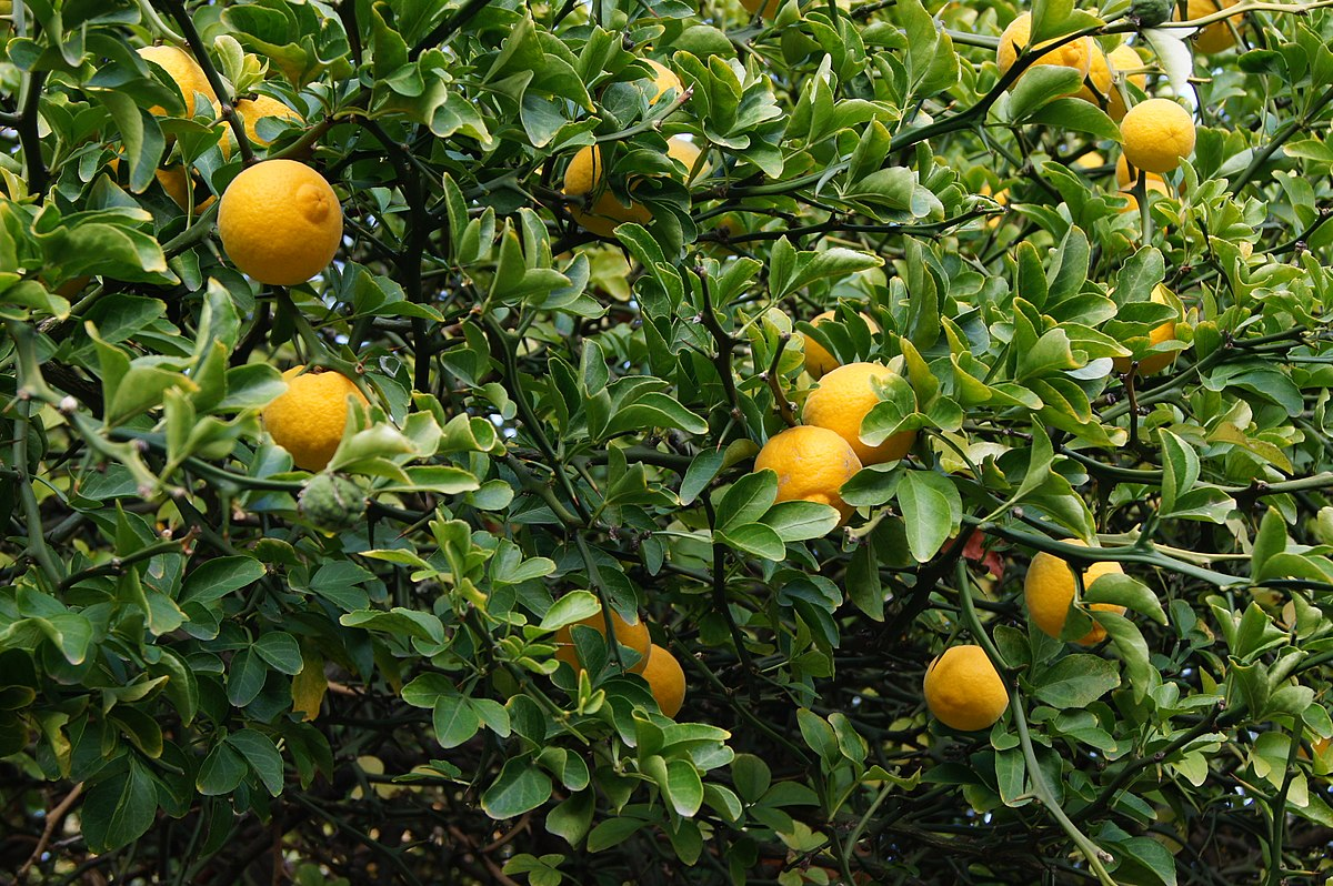 trifoliate orange wikipedia. Black Bedroom Furniture Sets. Home Design Ideas