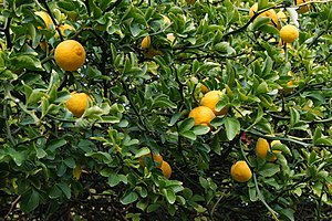 Trifoliate orange - A fruiting tree in Jardin des Plantes, Paris