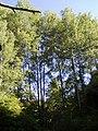 Populus alba7.JPG