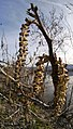 Populus trichocarpa male flowers near the Columbia River in East Wenatchee, Douglas County Washington.jpg